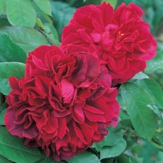 The Dark Lady - David Austin Roses. Rose x Prospero] Old rose fragrance. Named after 'Dark Lady' in Shakespeare's sonnets. Roses David Austin, David Austin Rosen, Beautiful Roses, Beautiful Flowers, Happy Flowers, Rose Flowers, Rose Foto, Ronsard Rose, Rose Nursery
