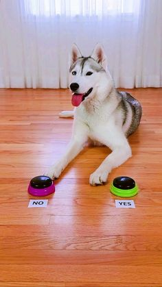Cute Funny Dogs, Cute Funny Animals, Funny Vidos, Cute Husky Puppies, Siberian Husky Puppies, Funny Animal Jokes, Funny Dog Memes, Cute Wild Animals, Cute Little Animals