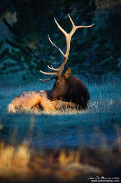 Bull Elk in the morning light