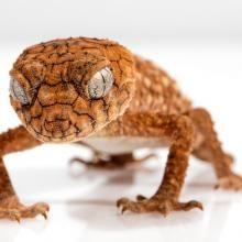 Australian Man Reportedly Dies 10 Days After Eating Gecko on a Dare Small Lizards, Australian Men, Australian Animals, Crested Gecko, Galaxy S4 Mini, All Birds, Animal Wallpaper, Hd Wallpaper, Wallpapers
