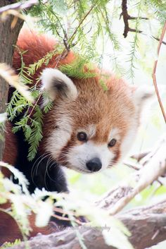 Red panda resident at the Central Park Zoo.