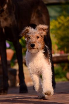 Wire haired fox terrier pup just trotting along.
