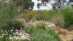 Australian Native Garden Inspiration - Rhogodia spinescens, Rhodanthe species (WA), Eremophila interstans, Dianella revoluta, Corymbia citriodora