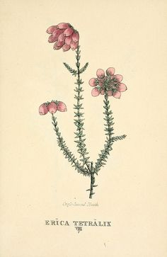 Erica tetralix, printed by T. Bensley for J. Murray (1812).