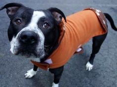 TO BE DESTROYED WED, 3/5/14- Manhattan Center    CARLOS - A0992657    MALE, BLACK / WHITE, PIT BULL MIX, 1 yr, 6 mos  STRAY - STRAY WAIT, NO HOLD  Reason STRAY   Intake condition NONE Intake Date 02/27/2014, From NY 10009, DueOut Date 03/02/2014