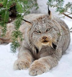 Canadian Lynx is a North American mammal of the cat family, Felidae. It is a close relative of the Eurasian Lynx. However, in some characteristics the Canada lynx is more like the bobcat than the Eurasian Lynx.