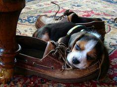 Beagle slippers