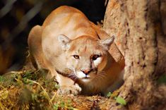 Mountain Lion in Heat [VIDEO] ... no dry humpin my leg!