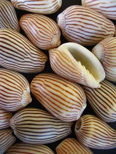 zebra volute shells many volutes on my beach but not these exotic creatures . I Need Vitamin Sea, Foto Poster, Shell Collection, Shell Beach, Patterns In Nature, Shape Patterns, Natural Forms, Natural Texture, Ocean Life