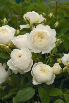 Image detail for -Buy rose Claire Austin (English musk) Rosa 'Claire Austin = 'Ausprior ...