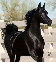 What a pretty little black Arabian!