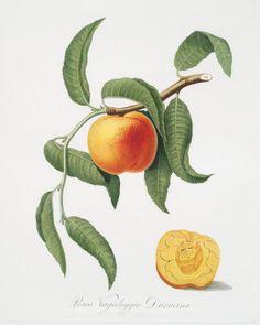 Beautiful fruit illustrations by Giorgio Gallesio taken...