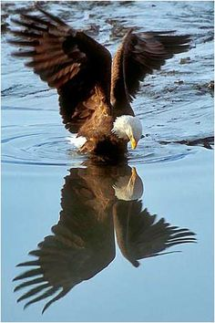 Proframe Photography. Bald Eagles of Chilkat River at Haines, Alaska.