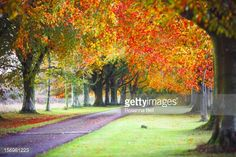 Autumn avenue of beech trees down country road