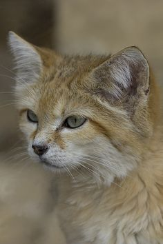 Sand cat by JasonBrownPhotography, via Flickr