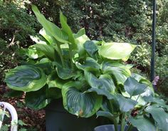 Hostas | Titanic' is one tough hosta with broad thick leaves that stand up to ...