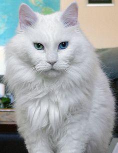 Deaf odd eye white cat sebastian - Odd-eyed cat - Wikipedia, the free encyclopedia
