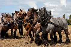 dutch heavy draft belgian horse   photo