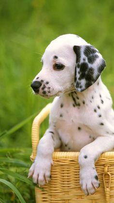 Cute Dalmatian Dog in a Basket