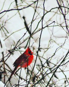 I Liked this Instagram: The watcher in the woods. 2016.  #teamcanon #bird #nature #naturephotography #instagood #travelgram #instamood #explorewildly #tourtheplanet #red #snow #cardinals #travelinspired #LiveTravelChannel #sharetravelpics #wildernessculture #theoutbound #bpmag #adventure #lonelyplanet #worlderlust #blizzard #winter #earthsnaturedaily #wildlife #birds by coloraobscura