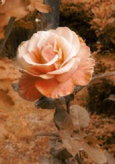 Photo about Vintage english rose, sepia and pink tones. Image of flower, petals, plant - 4109217 Every Rose, Romantic Roses, Pink Tone, English Roses, Floral Illustrations, Vintage Photography, Delicate, Flowers, Plants