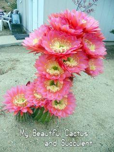 Flower Arrangements, Cactus Flower, Flower Landscape, Beautiful Blooms, Succulents Garden, Beautiful Flowers, Cacti And Succulents, Flower Images, Desert Plants