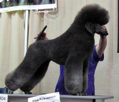 Dog Grooming Styles, Poodle Grooming, Pet Grooming, I Love Dogs, Cute Dogs, Poodle Haircut, Poodle Cuts, Creative Grooming, Puppy Cut