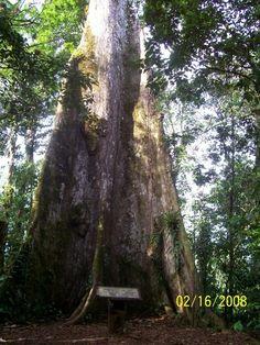 Arbol de la Paz - Costa Rica
