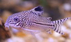 Love Corydoras...for my next tank I may do a small school of Corydoras nanus