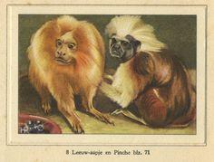 Leeuw-aapje en Pinche. From the album 'Dierenleven in Artis' 'Animals life in the Artis zoo' from 1939.