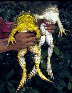 Male Bullfrog on the left. Female Bullfrog on the right