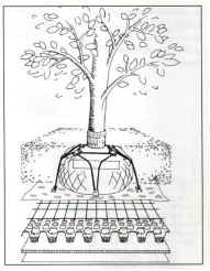"""Greenroofs101: Plant Material Due to possible damage to the waterproofing integrity, normal stake posts cannot be used to anchor the trees.  Thin, high-tension wires attached to the tree, see photo above left, is one possibility.  However, the best solution is to use a """"spider"""" of steel wire, enveloping the root ball and anchored to a steel grafting beneath, see diagram at left (ZinCo, March 1998)."""