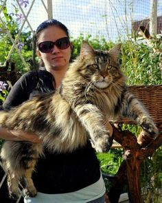Check out the size of this gorgeous Maine Coon cat…I so want one...maybe next time