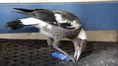 This is Maggie, an orphaned Australian Magpie. He was a delight to have in care, and has now been adopted by a local magpie family. As you can see, young mag. Australian Birds, Magpie, Play, Photos, Animals, Art, Art Background, Pictures, Animales