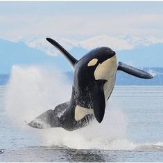 Happiness is freedom. Keep them in the sea! Beautiful image of a happy Orca by 💙 Orcas, Animals And Pets, Cute Animals, Strange Animals, Fauna Marina, Save The Whales, Wale, Mundo Animal, Ocean Creatures