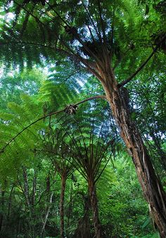 Giant Tree Ferns by asnyder5, via Flickr