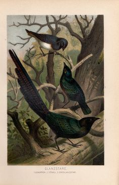 1893 Antique Chromolithograph Plate Print Brehm Bird Glanzstare Starling СКВОРЕЦ