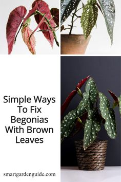 Ho to fix brown leaves on begonia houseplants. How to work out why your begonia has brown leaves, and simple tips to fix your plant. Indoor Flowering Plants, Blooming Plants, Maxima And Minima, Begonia Maculata, Bacterial Diseases, Smart Garden, Pot Plants, House Plant Care, Garden Guide