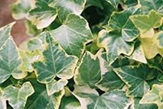 Get tips for growing English ivy. Care is easy -- and it's a beautiful accent plant with lush, trailing vines. Discover types of ivy house plants, care tips and pictures. English Ivy Indoor, English Ivy Plant, Ivy Plant Indoor, Orchid Plant Care, Orchid Plants, Types Of Ivy, Hedera Helix, Ivy Plants, Hanging Plants