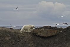 We've Already Reached the Tipping Point on Global Warming. TED Fellows — Camille Seaman. Polar Bear Invades Bird Colony IV, Svalbard, June 2010 #no-ice