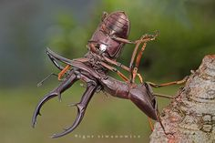 Cyclommatus - stag beetles, males fighting for mate