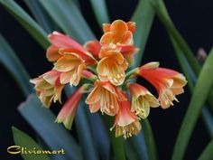 Buy Clivia Plants & Seeds for Sale From Clivia USA