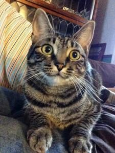 ADOPTED! Check out the smile on this girl! She must know she's gong to a good home.   Noodle is a brown, female tabby in Fairfax Station, VA.