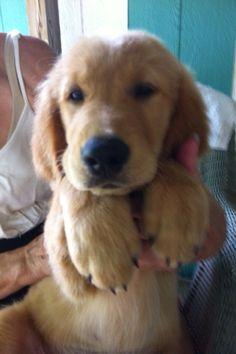Puppy Golden = ❤️ Retriever Puppies, Dogs Golden Retriever, Golden Retrievers, Little Dogs, Big Dogs, I Love Dogs, Cute Puppies, Cute Dogs, Dogs And Puppies