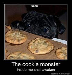 This reminds me of Football.  He has so eaten an entire plate of chocolate chip cookies before.