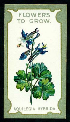 """Lea's Cigarettes """"Flowers to Grow ~ The Best Perennials"""" (series of 50 issued in 1913) #5 Aquilegia Hybrida (Columbine)"""