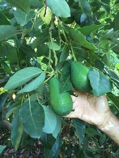 Fuerte Avocados Zucchini, Lime, Fruit, Vegetables, Funny, Strong, Vegetable Recipes, Limes, Veggie Food