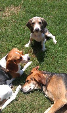 Baby Beau first week home! Beagles