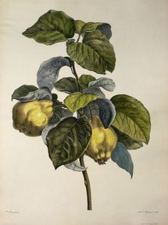 botanical illustration - Buscar con Google