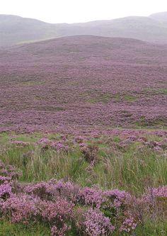 Traditional purple heather on the slopes of a rainswept Schiehallion in Scotland. Beautiful!
